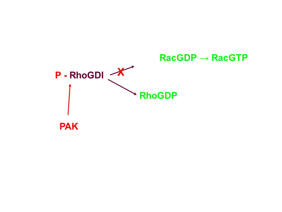 RacGDP → RacGTP X P - RhoGDI RhoGDP PAK