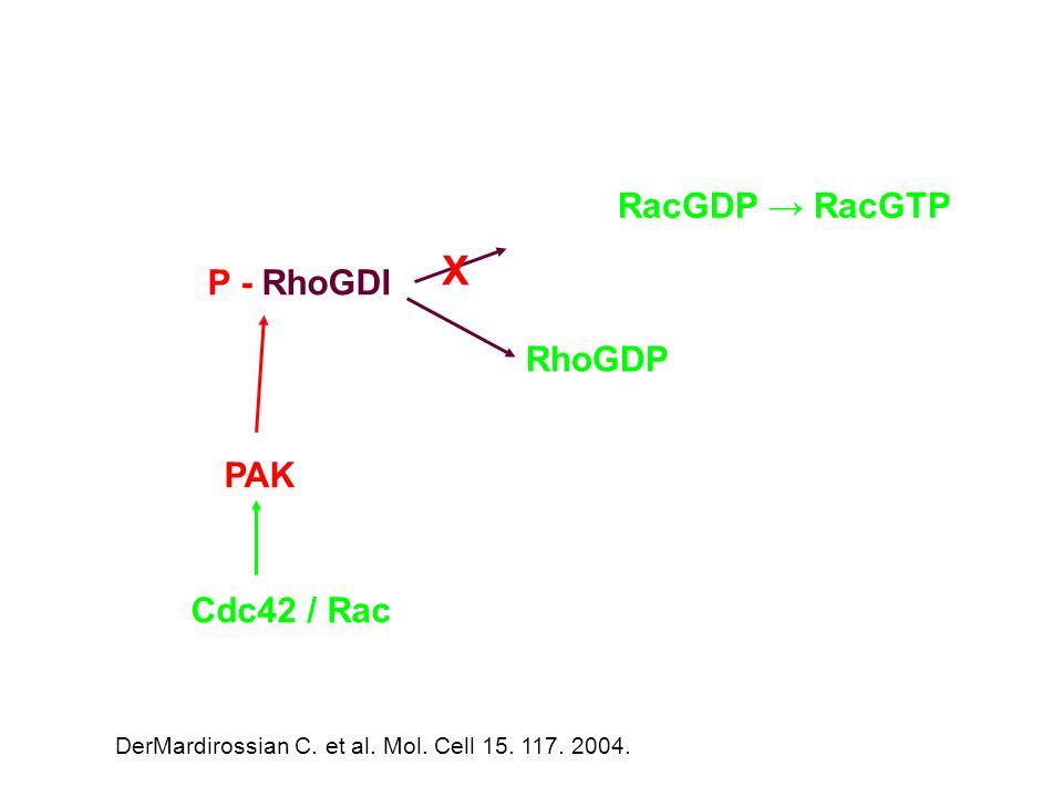 X RacGDP → RacGTP P - RhoGDI RhoGDP PAK Cdc42 / Rac