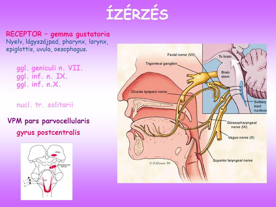 ÍZÉRZÉS RECEPTOR – gemma gustatoria ggl. geniculi n. VII.