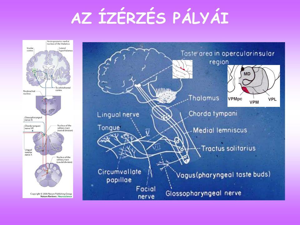 AZ ÍZÉRZÉS PÁLYÁI