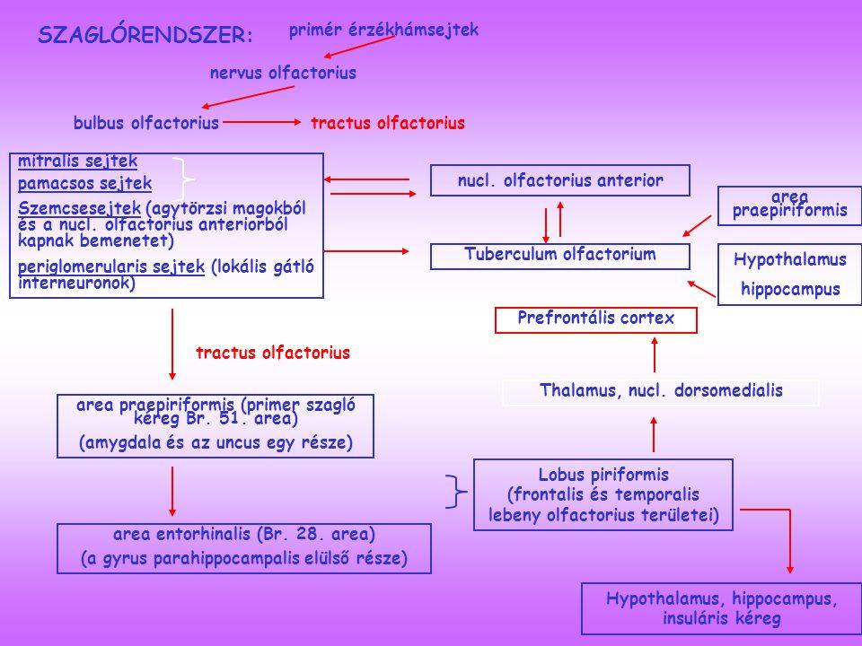 SZAGLÓRENDSZER: primér érzékhámsejtek nervus olfactorius