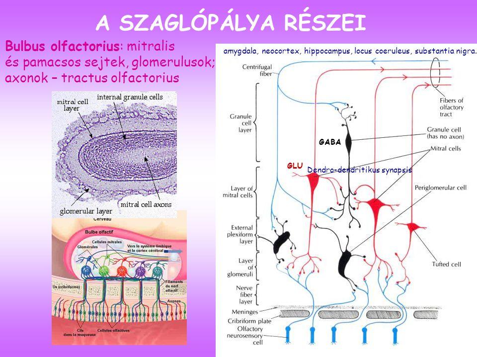 A SZAGLÓPÁLYA RÉSZEI Bulbus olfactorius: mitralis