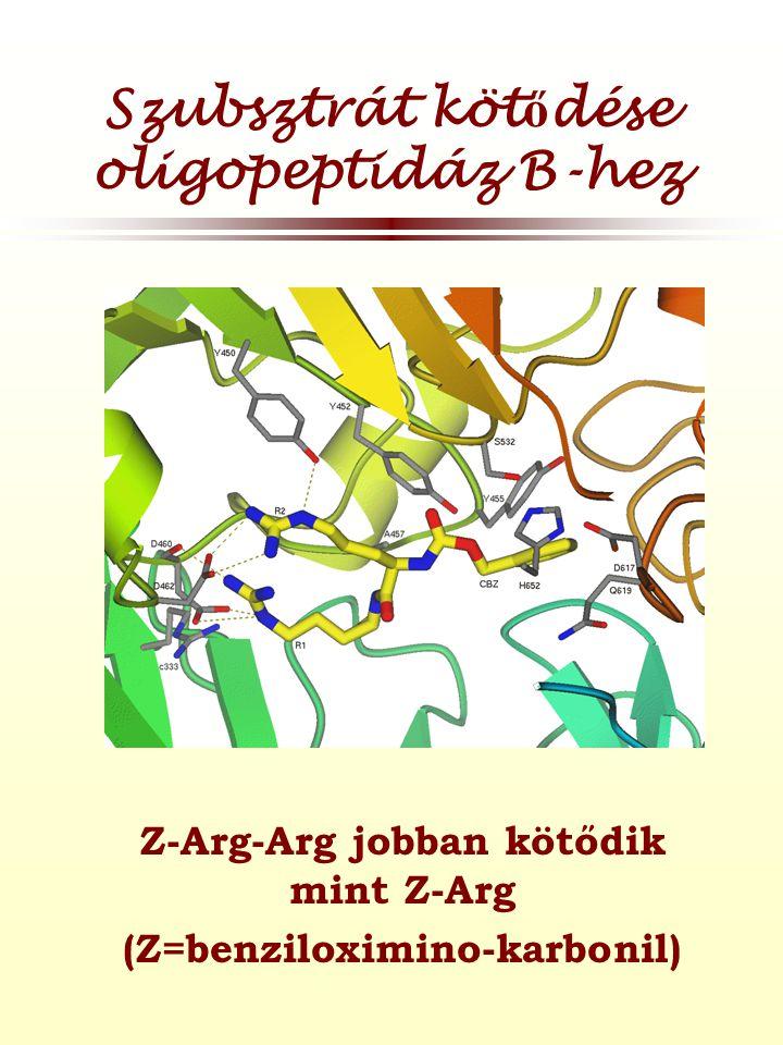 Szubsztrát kötődése oligopeptidáz B-hez