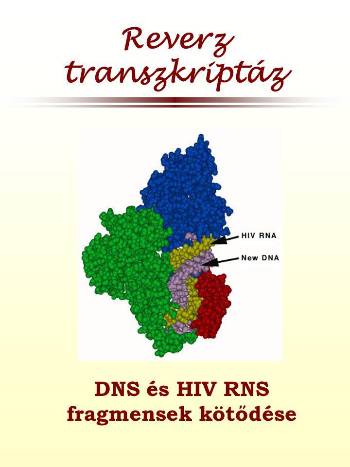 DNS és HIV RNS fragmensek kötődése