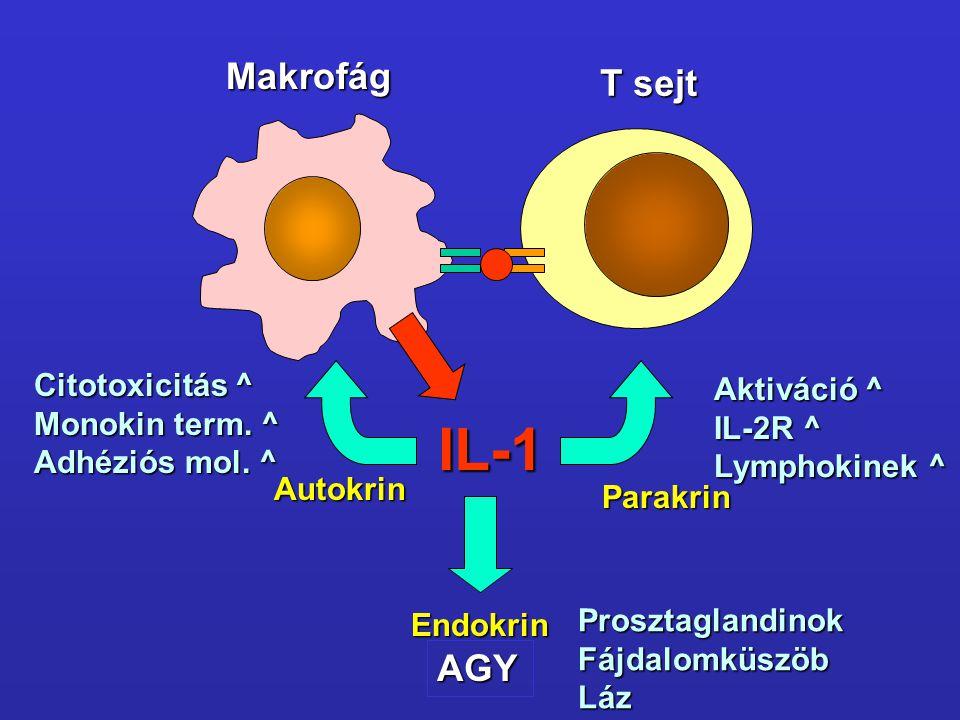 IL-1 Makrofág T sejt AGY Citotoxicitás ^ Aktiváció ^ Monokin term. ^