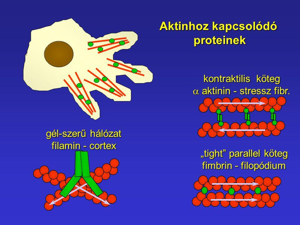 Aktinhoz kapcsolódó proteinek