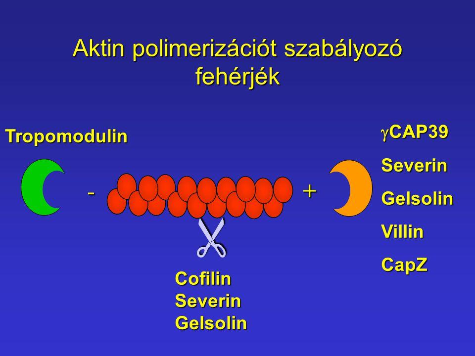 Aktin polimerizációt szabályozó fehérjék