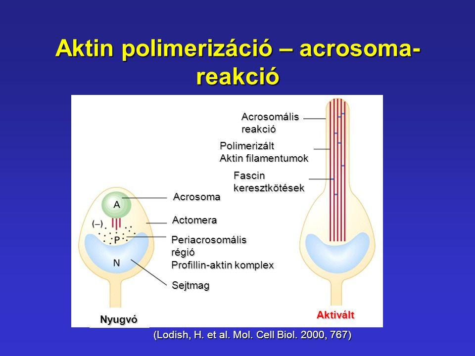 Aktin polimerizáció – acrosoma-reakció