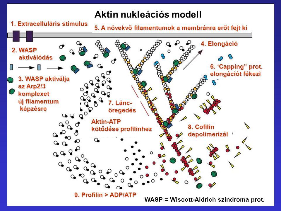 Aktin nukleációs modell