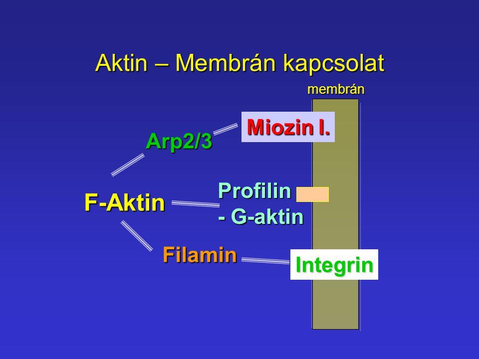 Aktin – Membrán kapcsolat