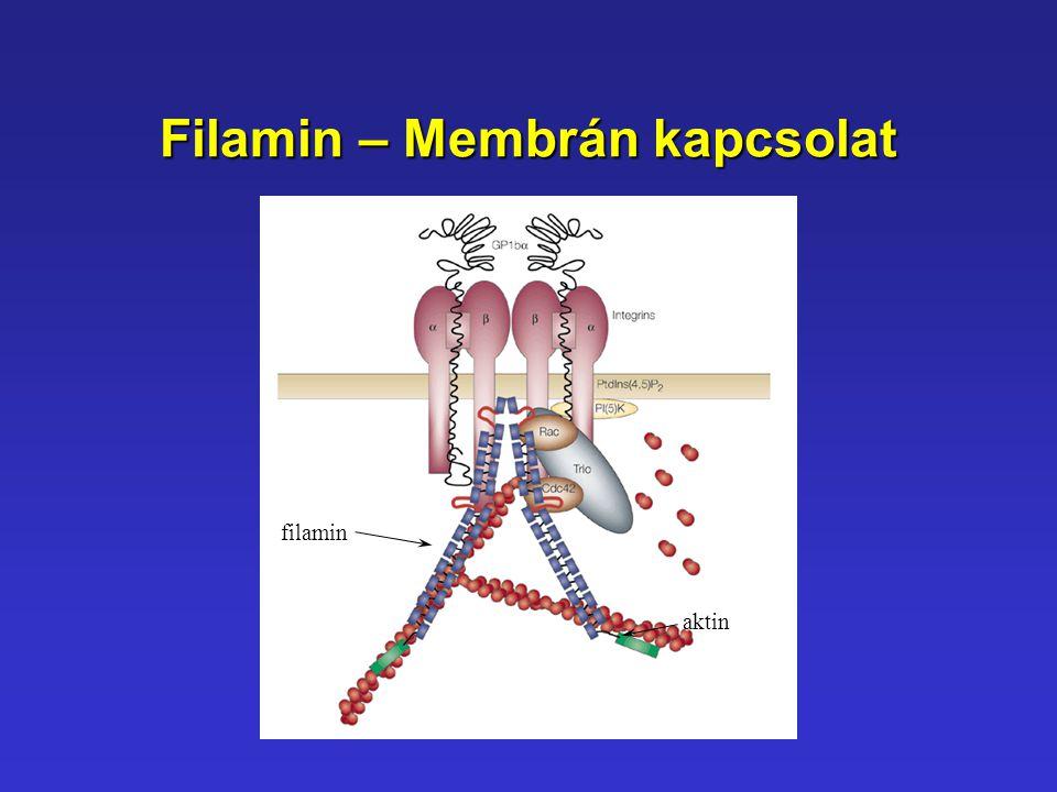 Filamin – Membrán kapcsolat