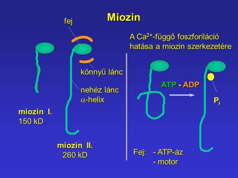 Miozin fej A Ca2+-függő foszforiláció hatása a miozin szerkezetére
