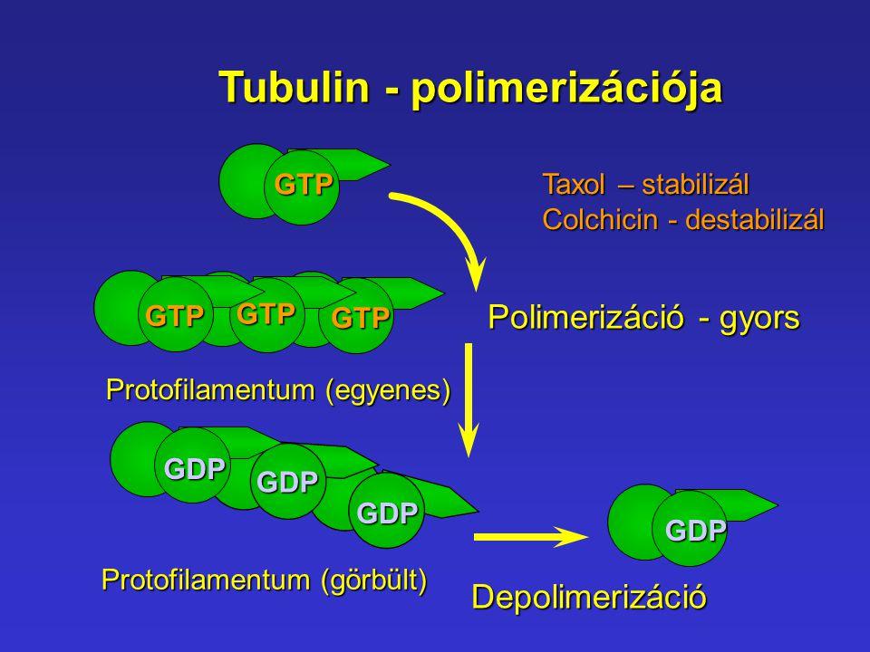 Tubulin - polimerizációja
