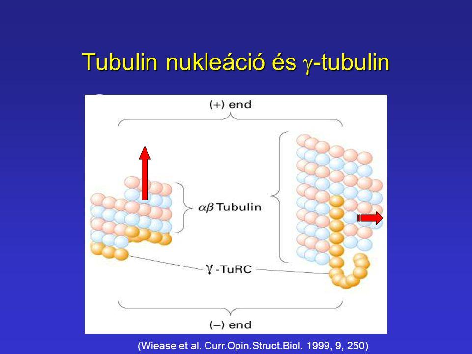 Tubulin nukleáció és g-tubulin