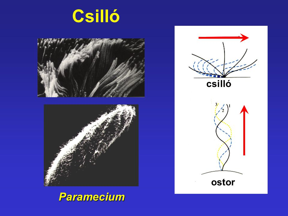 Csilló csilló ostor Paramecium