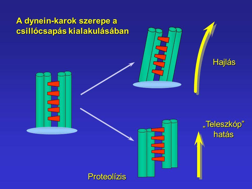A dynein-karok szerepe a