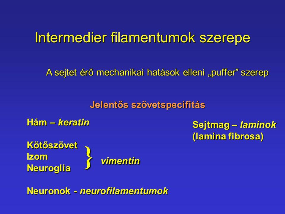 Intermedier filamentumok szerepe