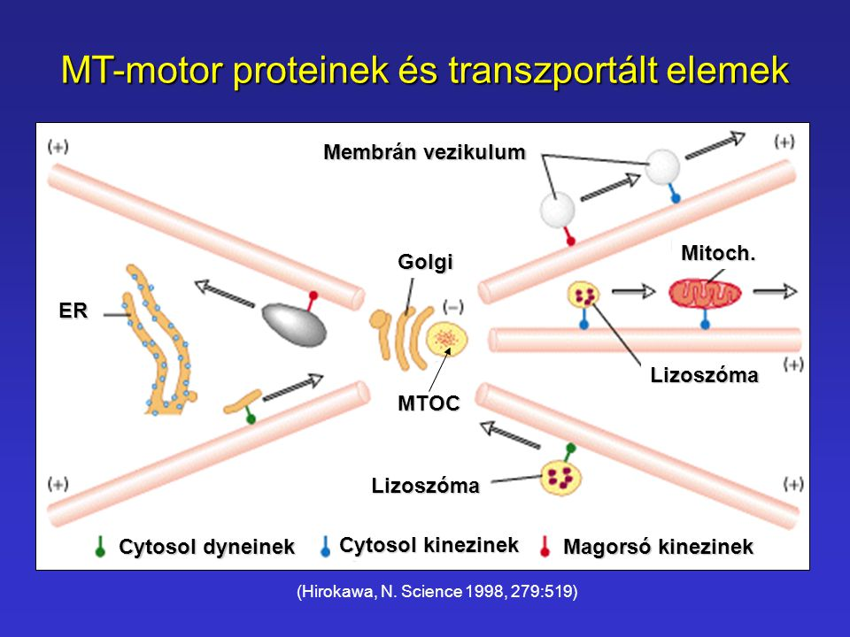 MT-motor proteinek és transzportált elemek