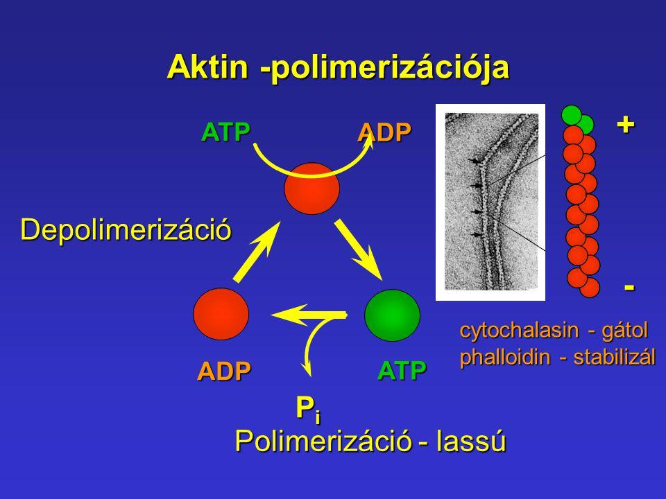 Aktin -polimerizációja