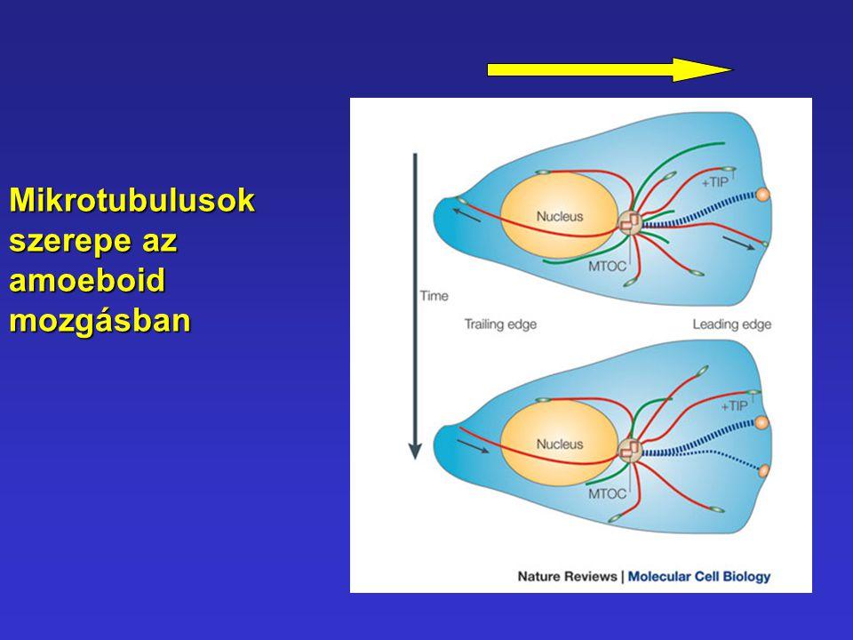 Mikrotubulusok szerepe az amoeboid mozgásban