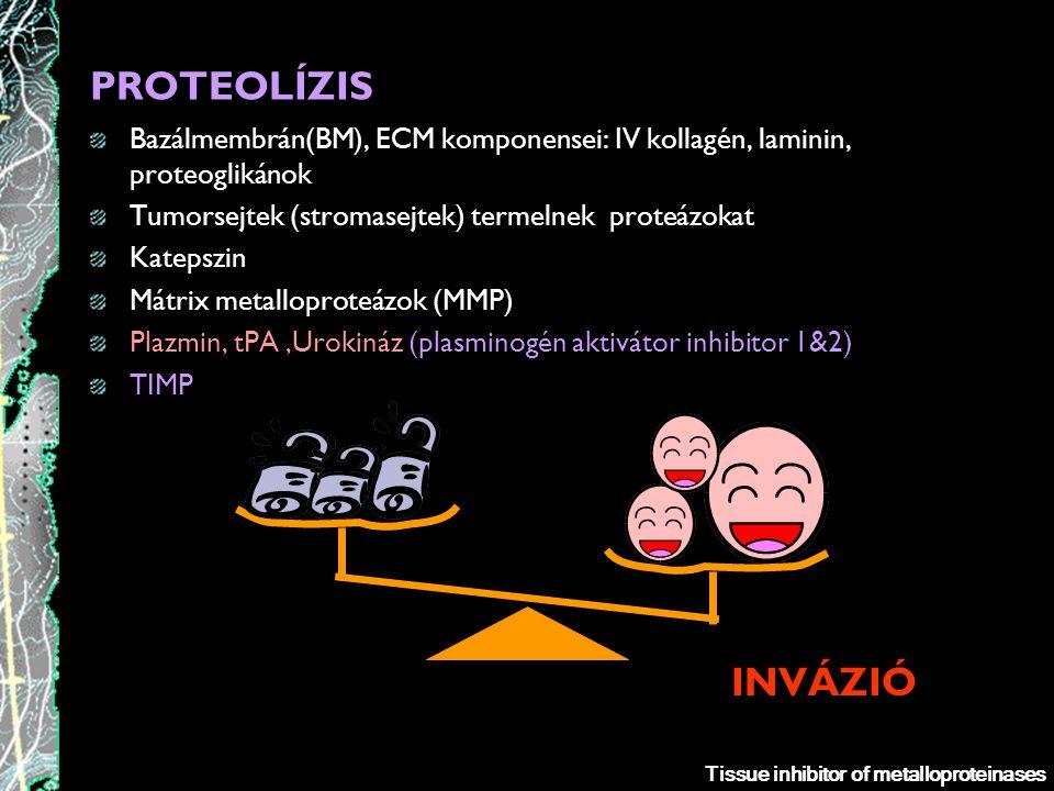 PROTEOLÍZIS Bazálmembrán(BM), ECM komponensei: IV kollagén, laminin, proteoglikánok. Tumorsejtek (stromasejtek) termelnek proteázokat.