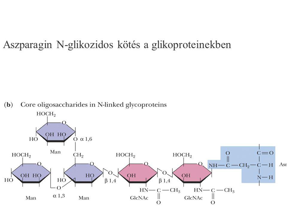 Aszparagin N-glikozidos kötés a glikoproteinekben