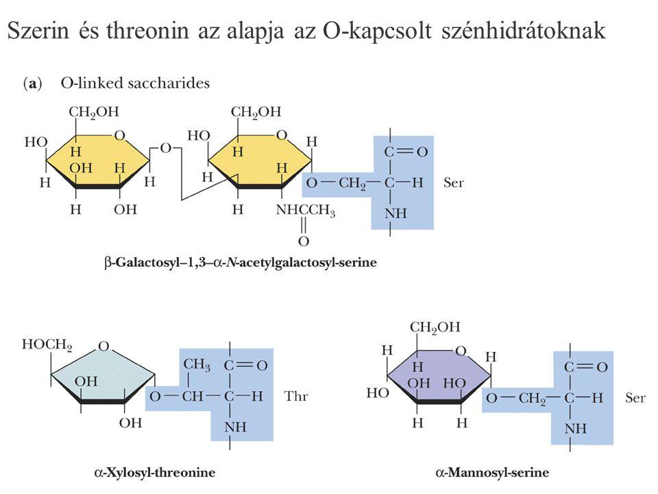 Szerin és threonin az alapja az O-kapcsolt szénhidrátoknak