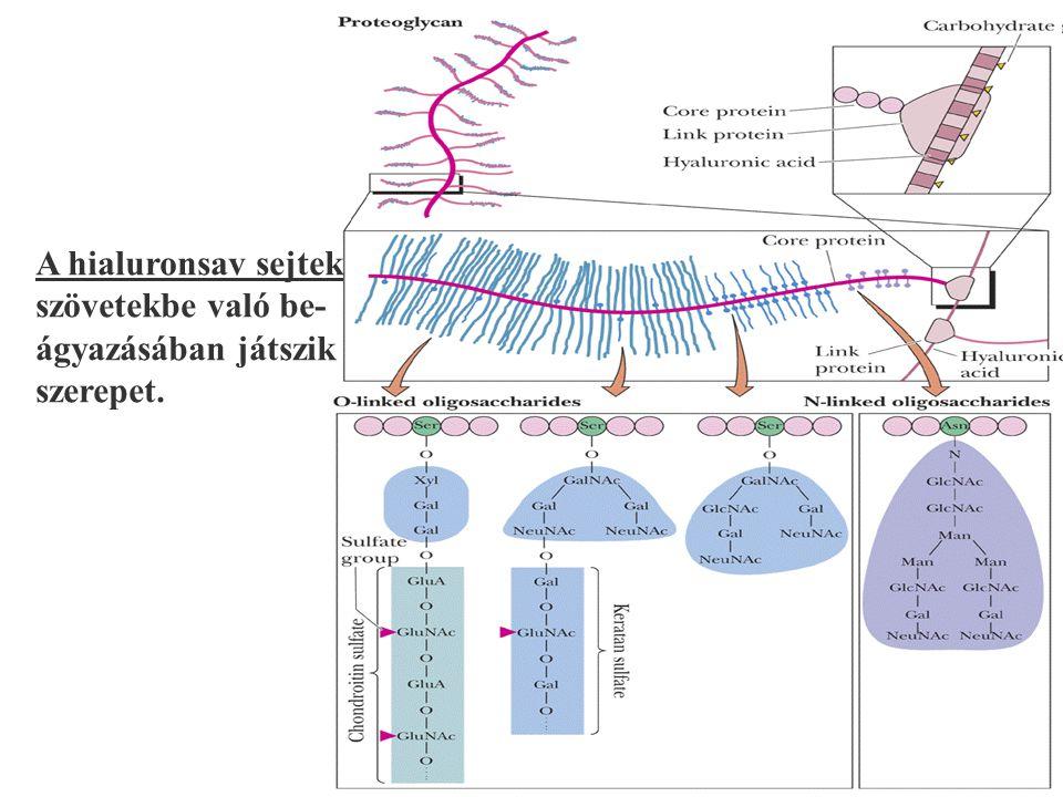 A hialuronsav sejtek szövetekbe való be- ágyazásában játszik szerepet.