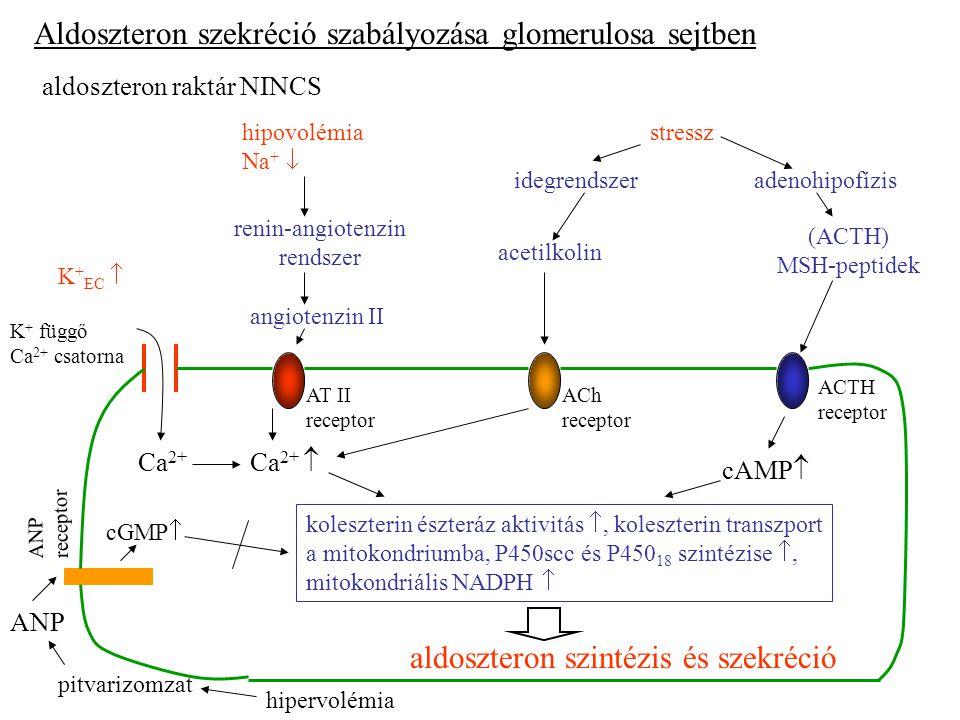 renin-angiotenzin rendszer