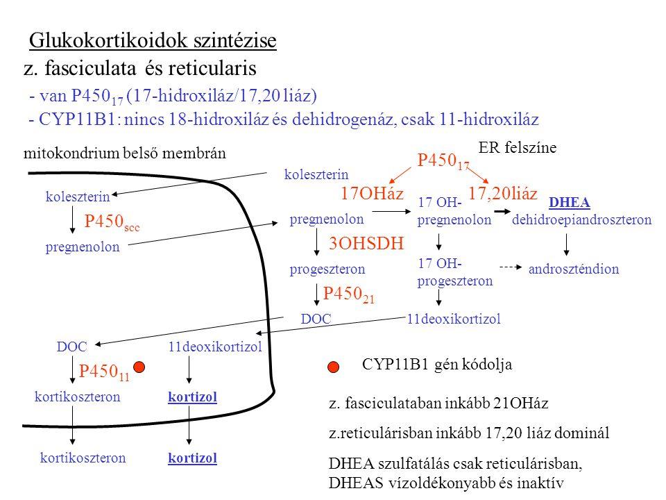 Glukokortikoidok szintézise z. fasciculata és reticularis