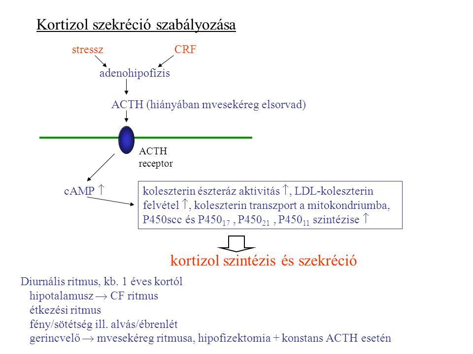 Kortizol szekréció szabályozása