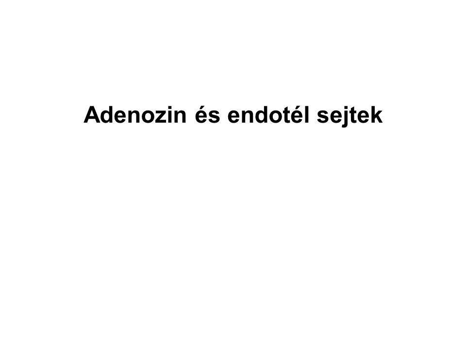 Adenozin és endotél sejtek