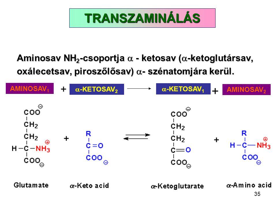 TRANSZAMINÁLÁS Aminosav NH2-csoportja  - ketosav (-ketoglutársav, oxálecetsav, piroszőlősav) - szénatomjára kerül.