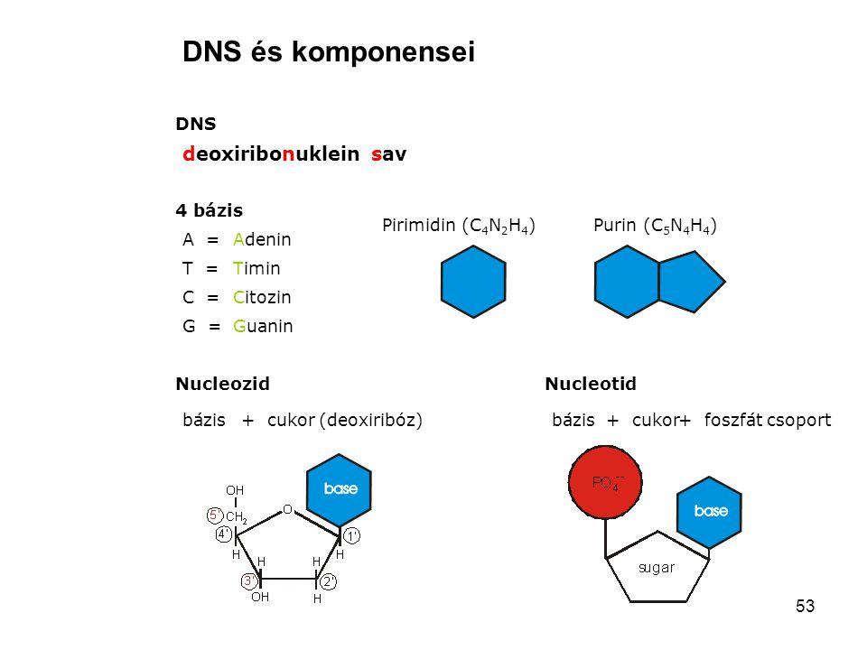 DNS és komponensei deoxiribonuklein sav DNS 4 bázis Pirimidin (C4N2H4)