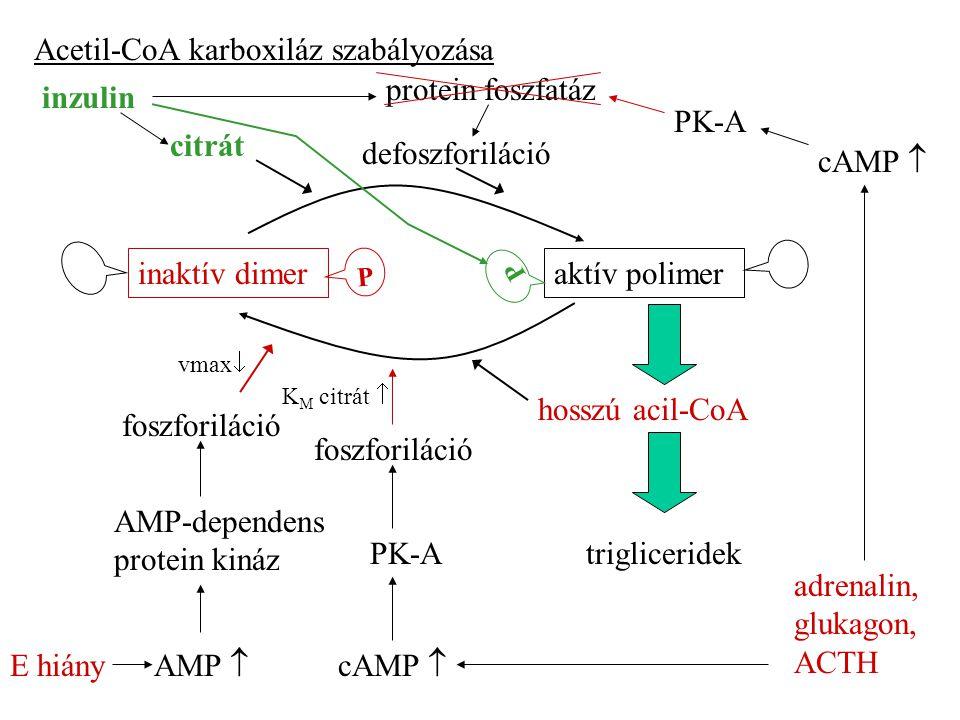 Acetil-CoA karboxiláz szabályozása protein foszfatáz inzulin PK-A