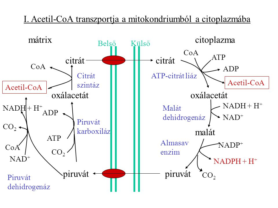 I. Acetil-CoA transzportja a mitokondriumból a citoplazmába