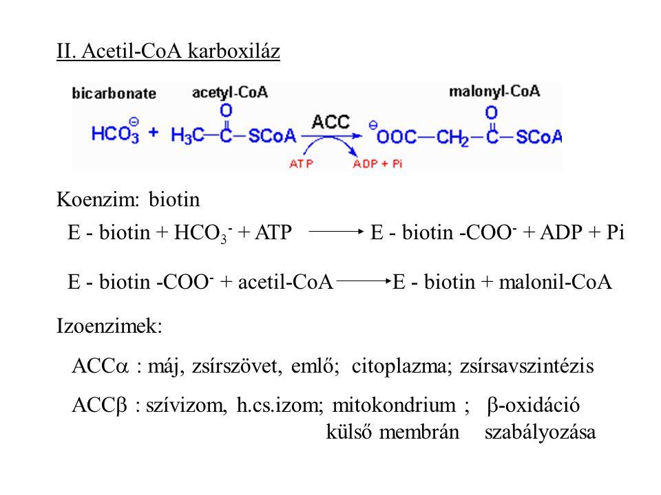 II. Acetil-CoA karboxiláz
