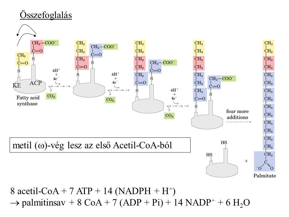 metil ()-vég lesz az első Acetil-CoA-ból