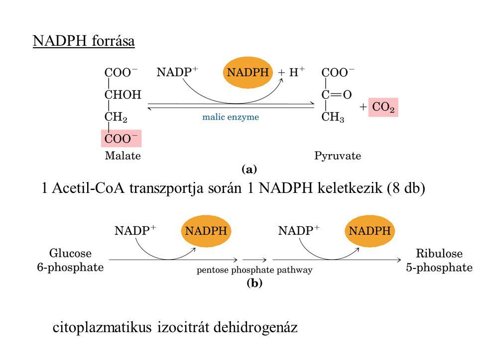 NADPH forrása 1 Acetil-CoA transzportja során 1 NADPH keletkezik (8 db) citoplazmatikus izocitrát dehidrogenáz.