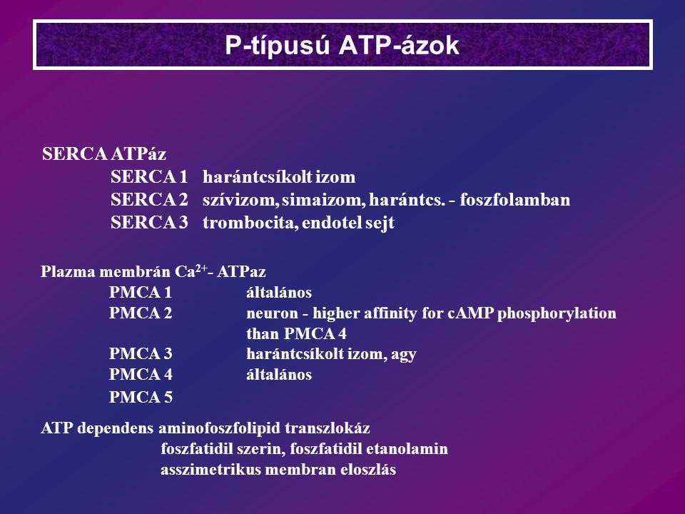 P-típusú ATP-ázok SERCA ATPáz SERCA 1 harántcsíkolt izom
