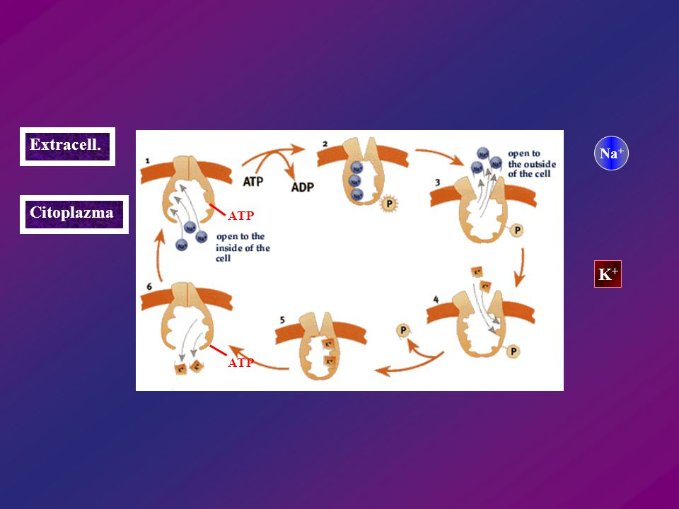 Extracell. Na+ Citoplazma ATP K+ ATP