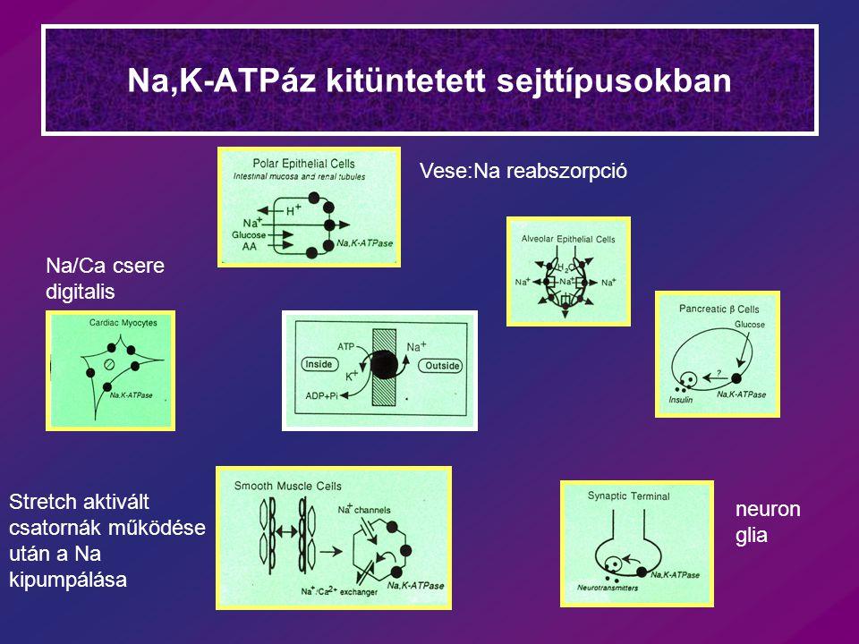 Na,K-ATPáz kitüntetett sejttípusokban