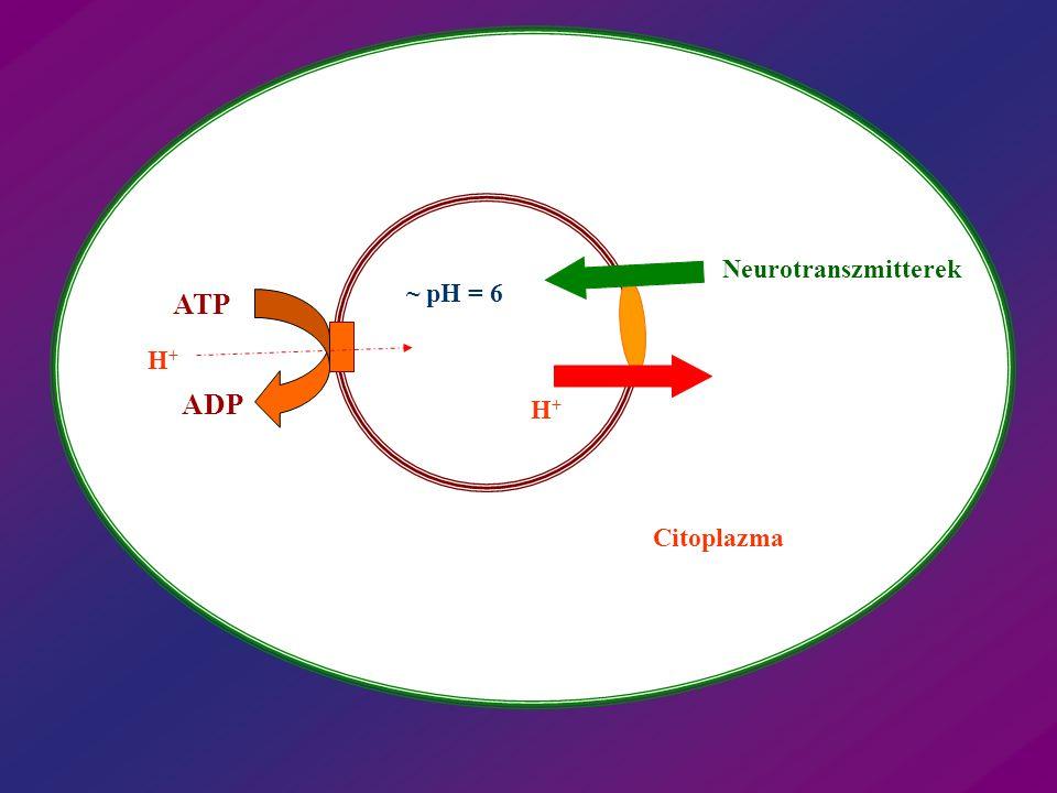 Neurotranszmitterek ~ pH = 6 ATP H+ ADP H+ Citoplazma