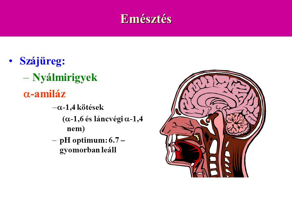 Emésztés Szájüreg: Nyálmirigyek a-amiláz -a-1,4 kötések
