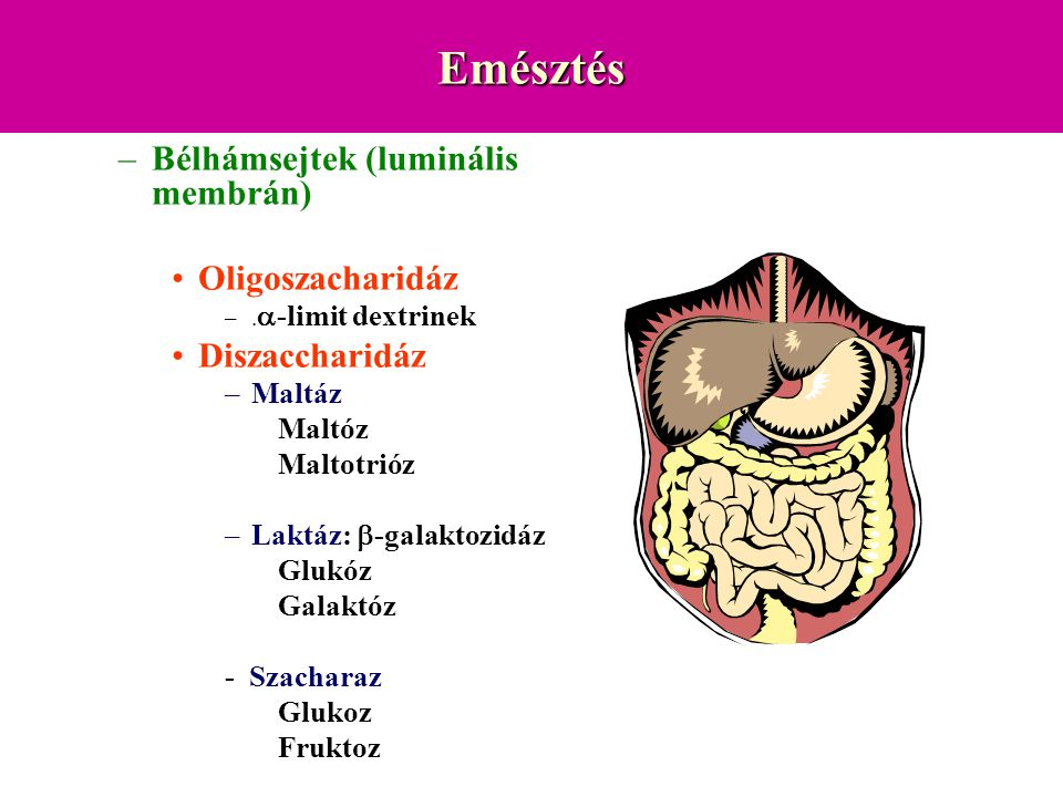 Emésztés Bélhámsejtek (luminális membrán) Oligoszacharidáz