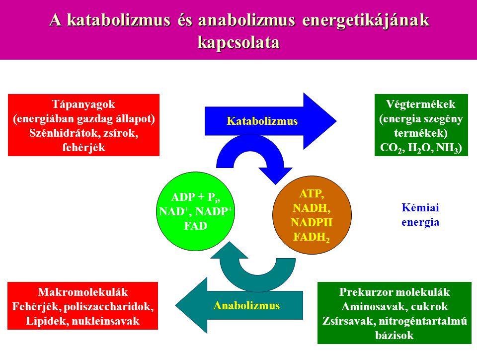 A katabolizmus és anabolizmus energetikájának kapcsolata