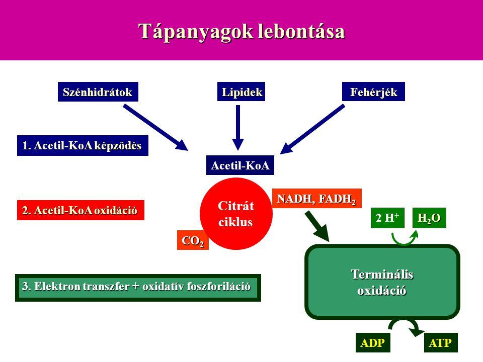 Tápanyagok lebontása Citrát ciklus Terminális oxidáció Szénhidrátok