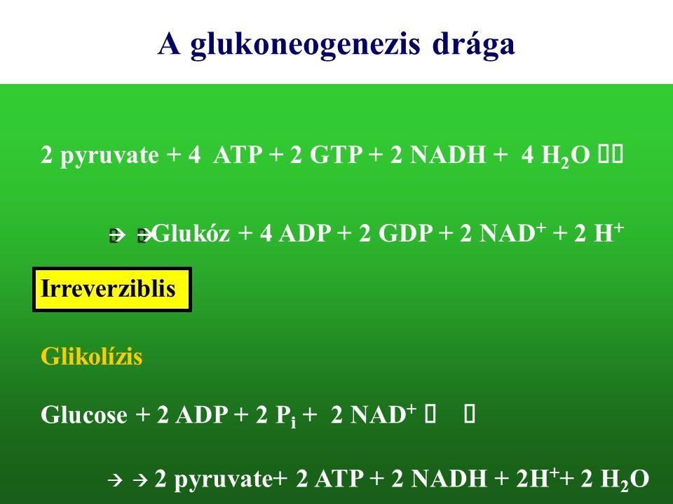 A glukoneogenezis drága