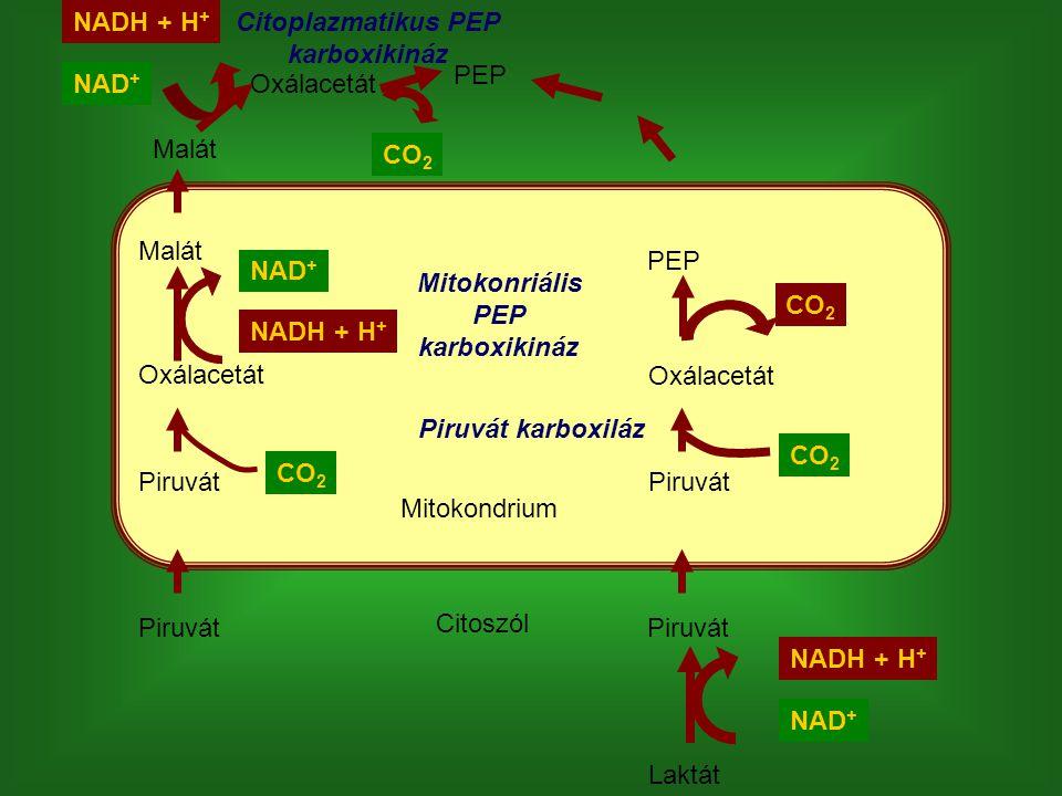 Citoplazmatikus PEP karboxikináz