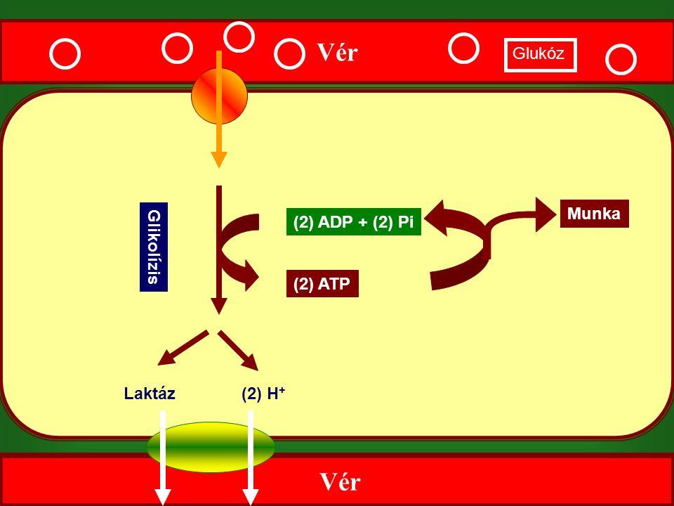 Vér Glukóz Munka (2) ADP + (2) Pi Glikolízis (2) ATP Laktáz (2) H+ Vér